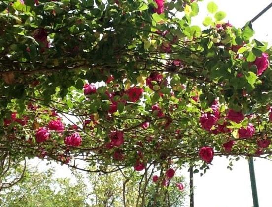 Варенье из лепестков роз. Пошаговый рецепт (10)