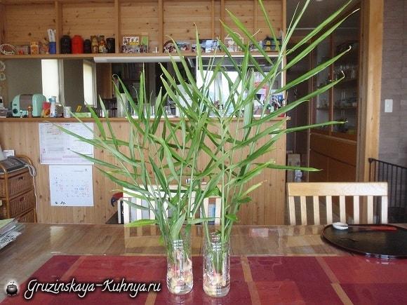 Как вырастить дома имбирь (3)