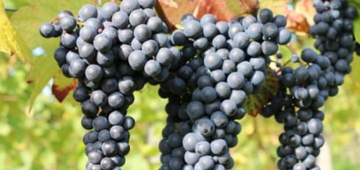 Как выращивать виноград для вина (1)