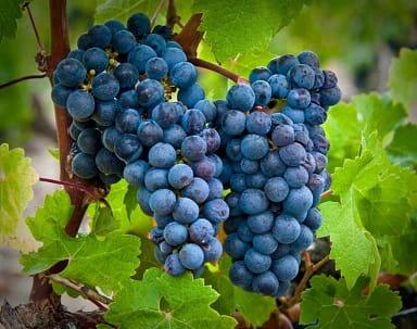 Как выращивать виноград для вина (2)