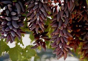 Описание и фото винограда Румба (3)