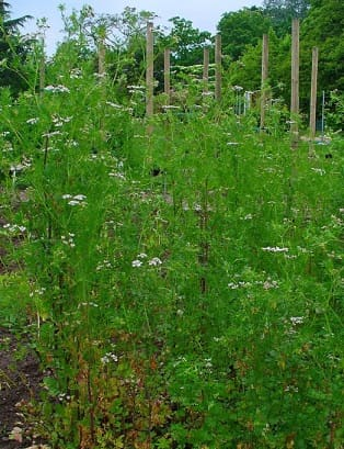 Полезные свойства пряных трав (3)