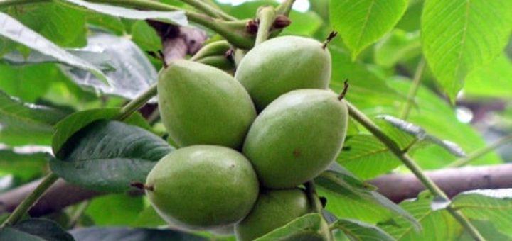 Виды орехов и особенности их произрастания (1)