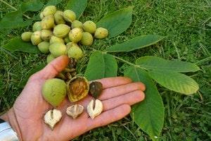 Виды орехов и особенности их произрастания (2)